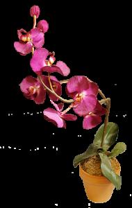 orchidej-naseceny